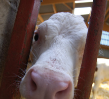 Emotivo encuentro con las vacas de un cercado