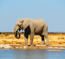 El elefante que quería patinar